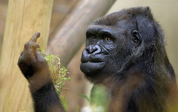 Gorilla Shows middlefinger